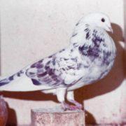 tilduiven-tilduibenbond, Foto galerij