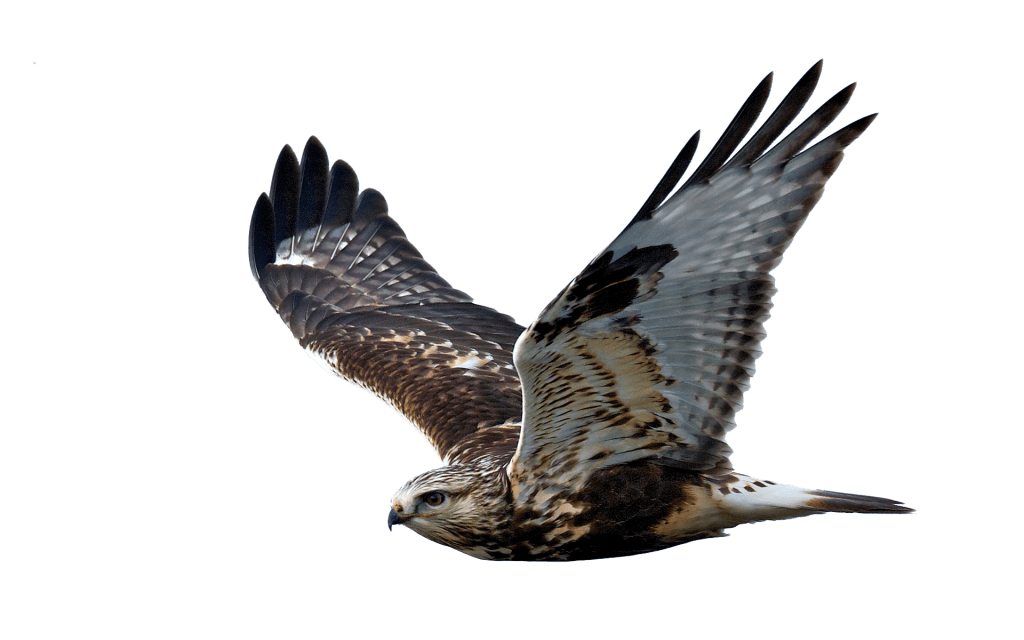 , Roofvogels en duiven, het blijft een probleem