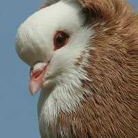 Jonge duiven diarree  Adeno Coli complex