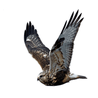 Roofvogels en duiven, het blijft een probleem