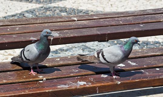 Overlast van duiven