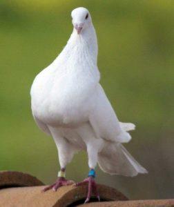 Jaartal en kleur duivenring